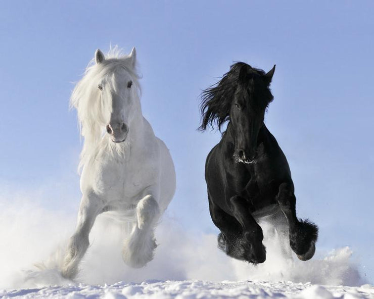 White and black horses Wall Mural-Animals & Wildlife-Eazywallz
