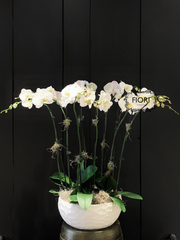 THE WOW FACTOR - Upright Orchid - White