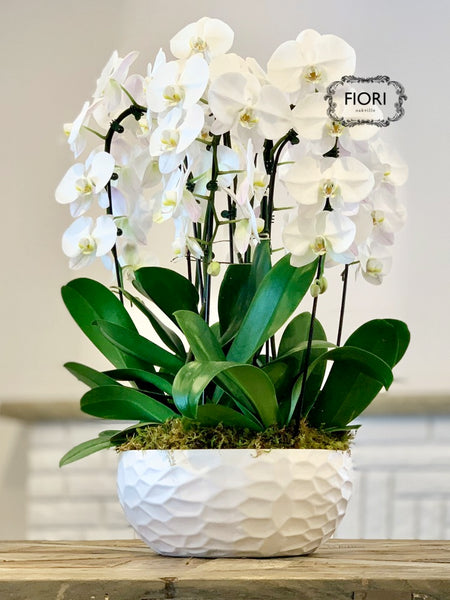 THE WOW FACTOR - Waterfall Orchid