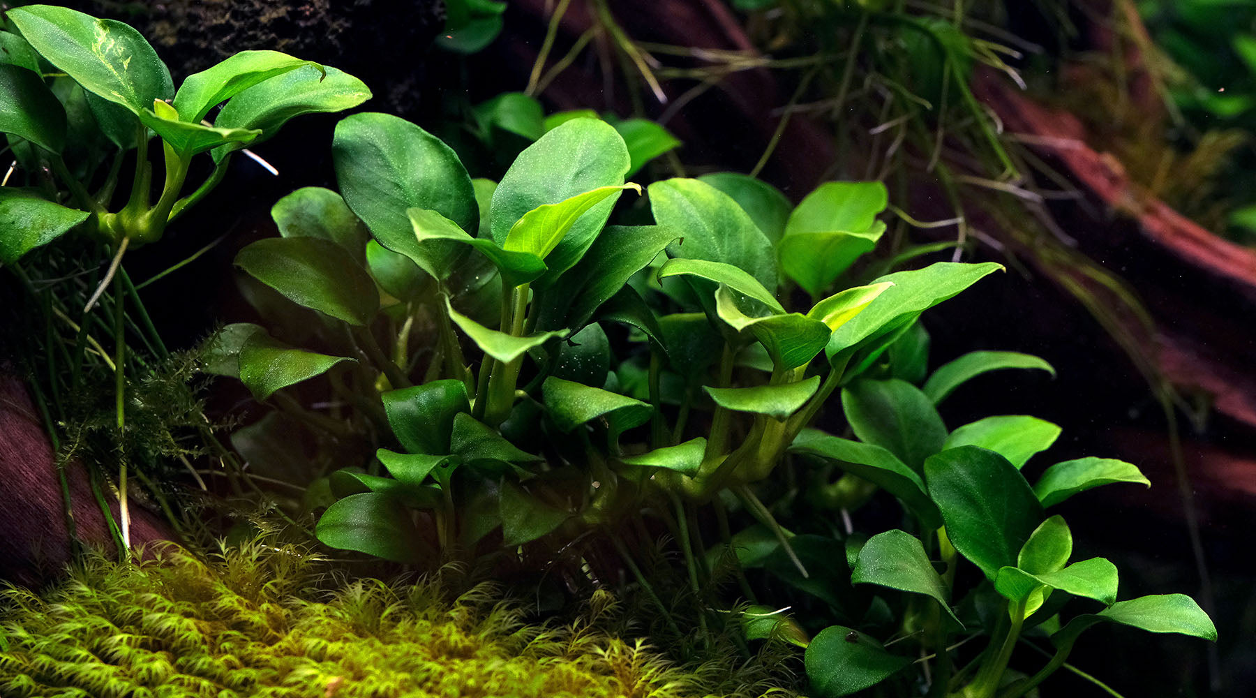 How to grow Anubias species