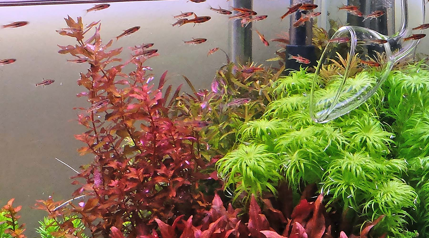 Best schooling fishes for planted tanks