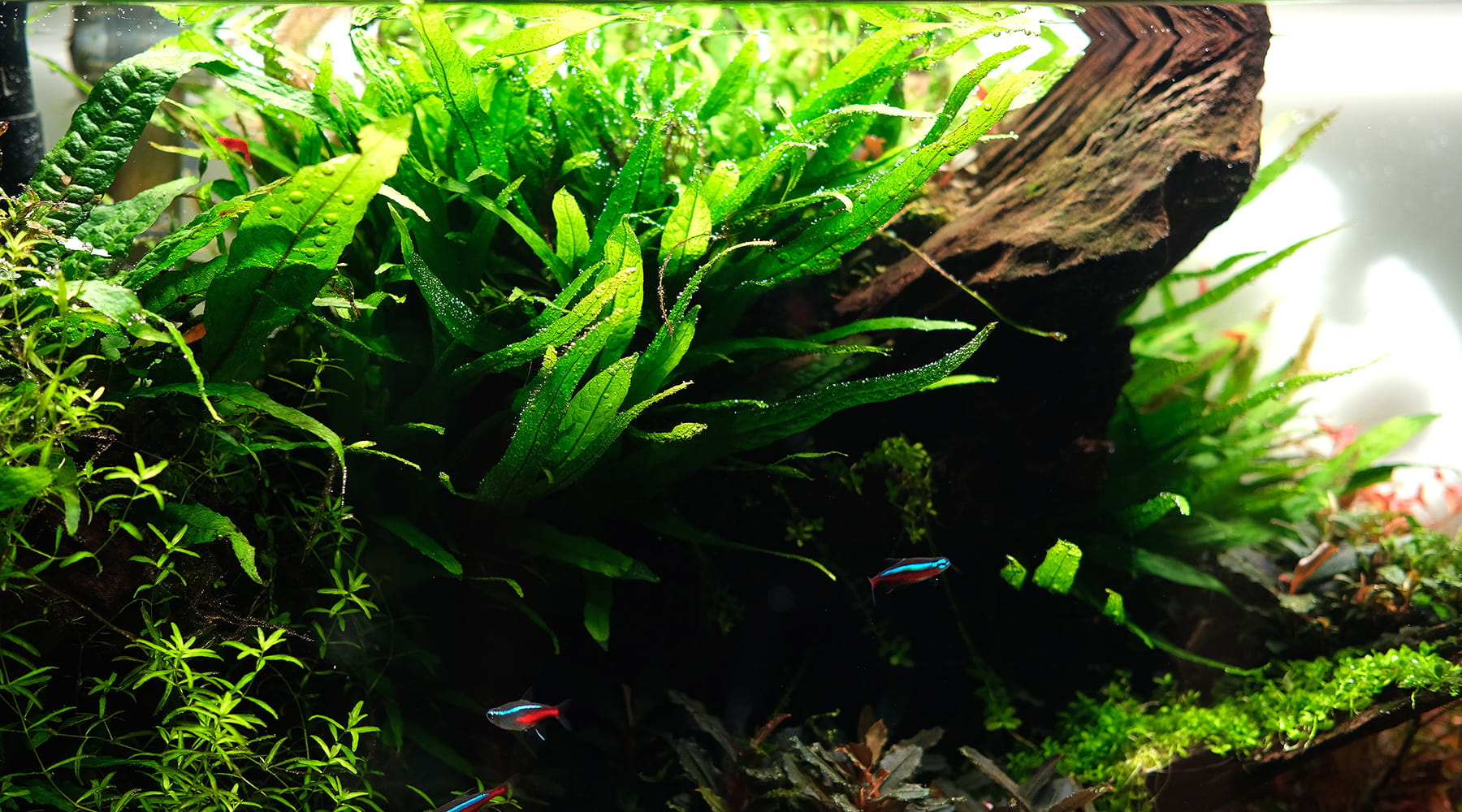 Java Fern in Nature Style 1800