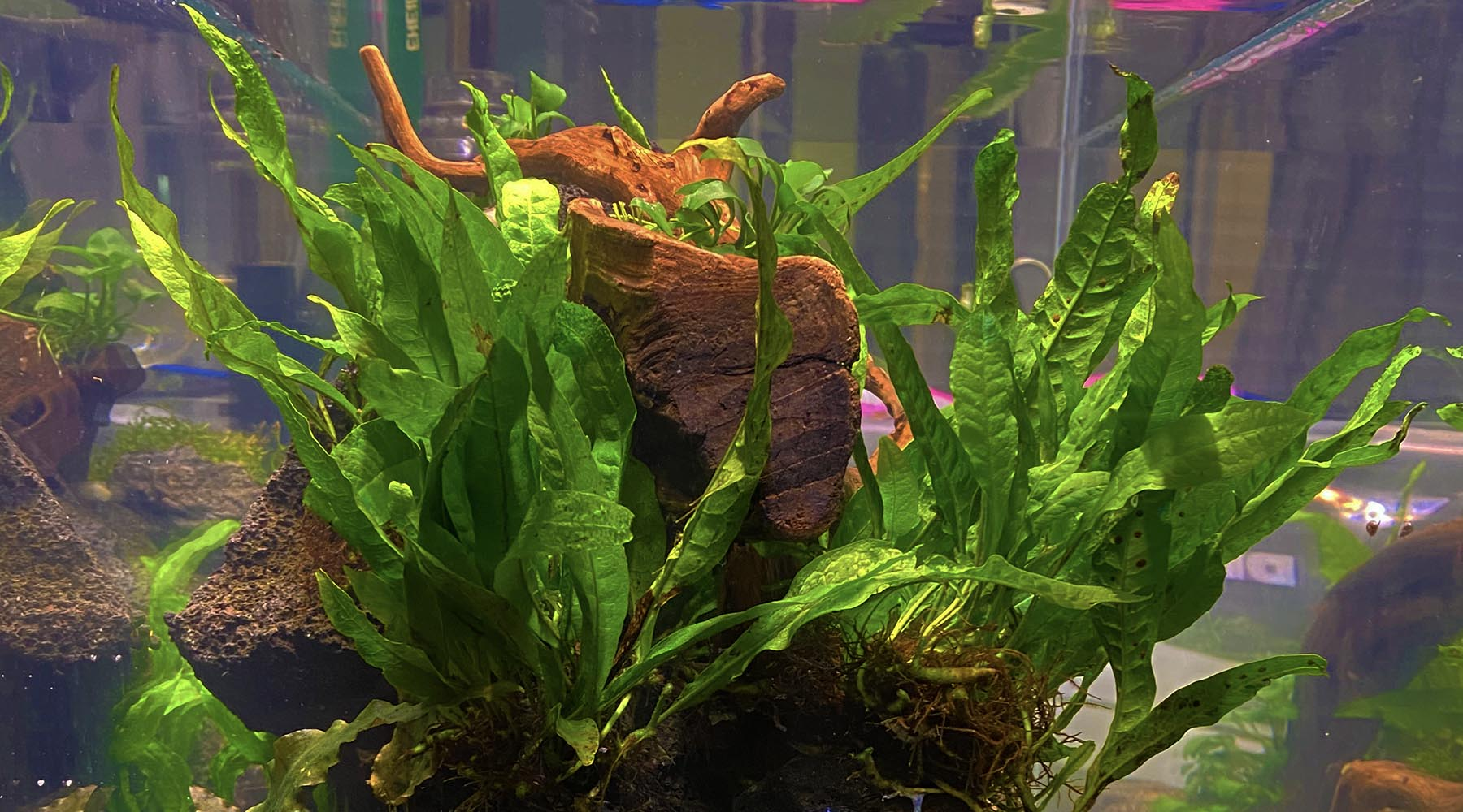 Top 5 Aquarium plants that grow well with no soil