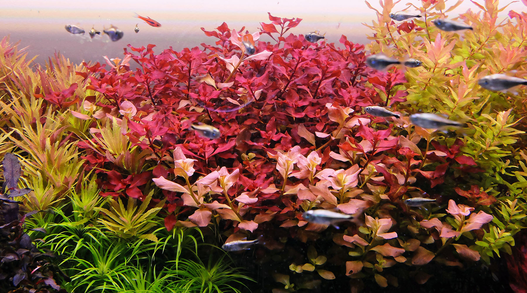 How to grow Ludwigia sp. 'Super red'