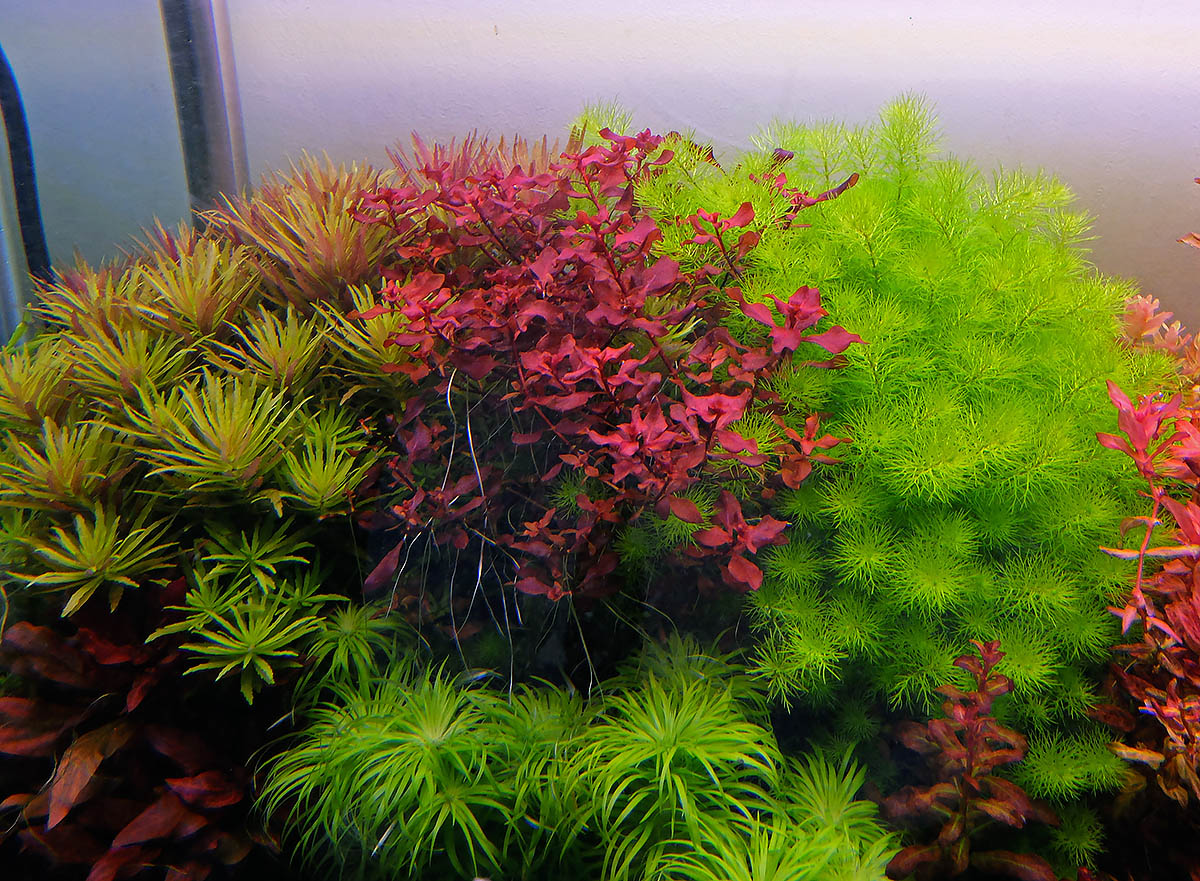 Ludwigia sp red