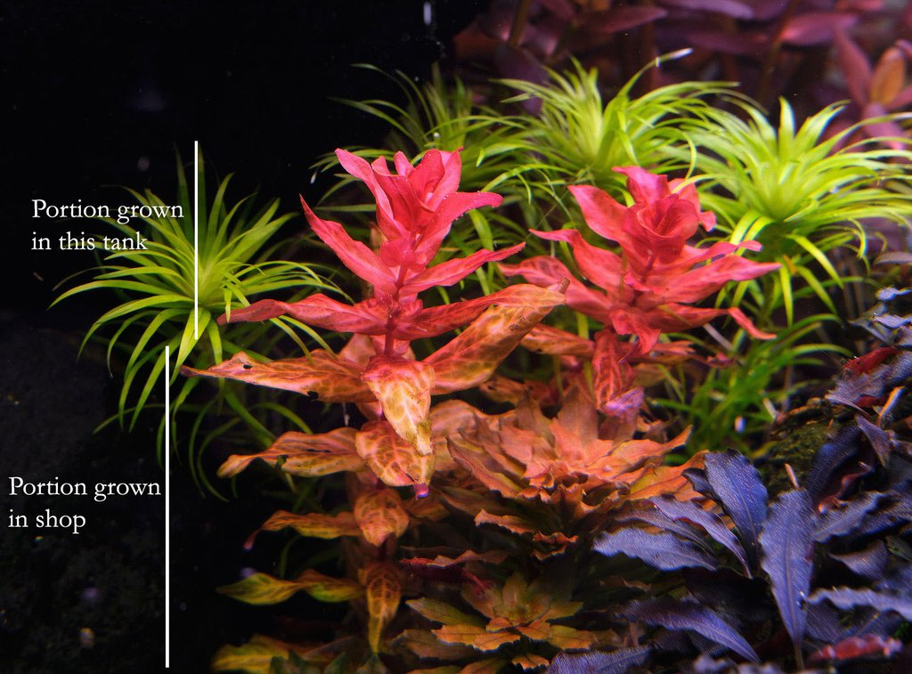 variegated rotala macrandra grown under different tank conditions