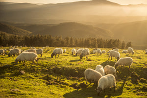 Sheep In Field Harvest Image