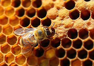 Closeup of Bee on honeycomb