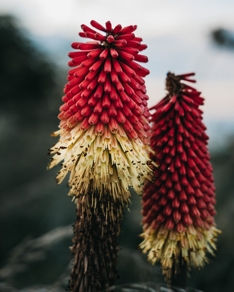 Red Hot Pokers along the way