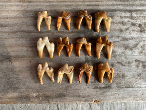 Fossil Teeth, set of 5 pieces