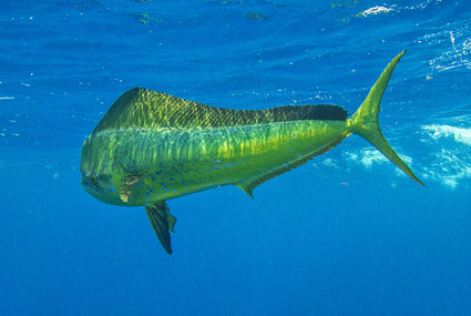 SPECIES PROFILE: The Brilliant Mahi-Mahi