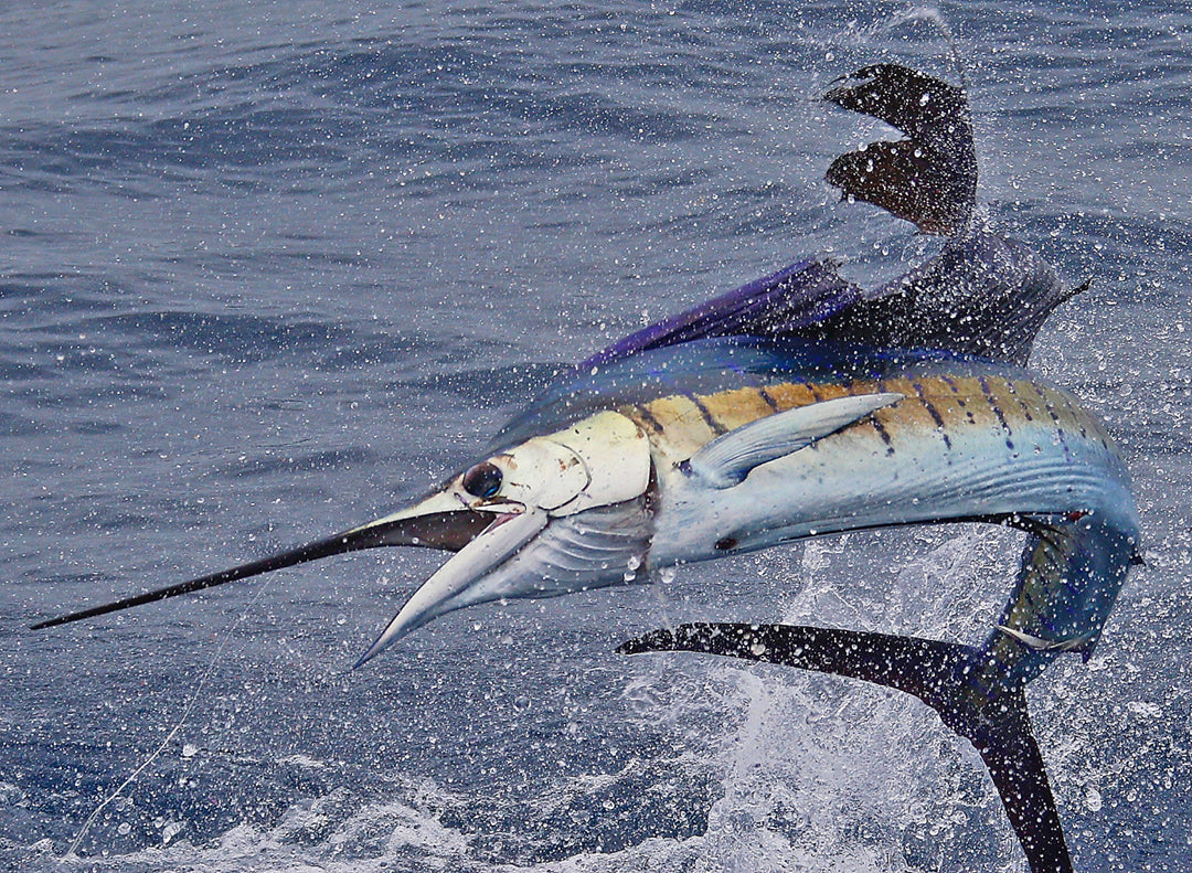 Pacific Sailfish_Pelagic Rockstar Offshore Tournament_Costa Rica