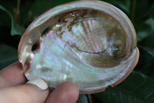 Load image into Gallery viewer, Small Abalone Sea Shells Set of 3