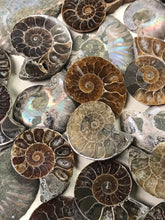 Load image into Gallery viewer, Opalized Ammonite AKA Ammolite Fossil