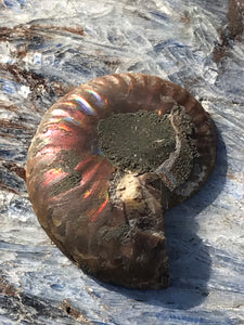 Opalized Ammonite AKA Ammolite Fossil