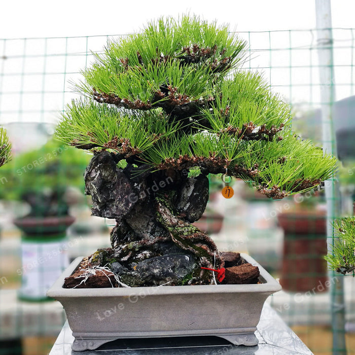 Thunbergii Bonsai Black Tree Plants