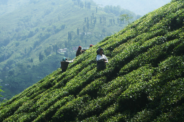 Location matters for a tea garden