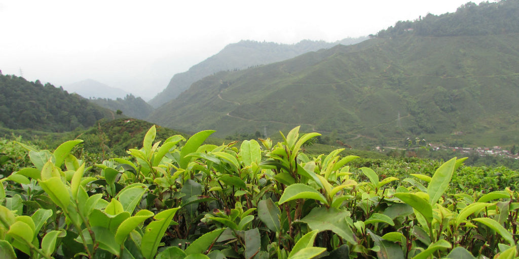Darjeeling First Flush 2016 report