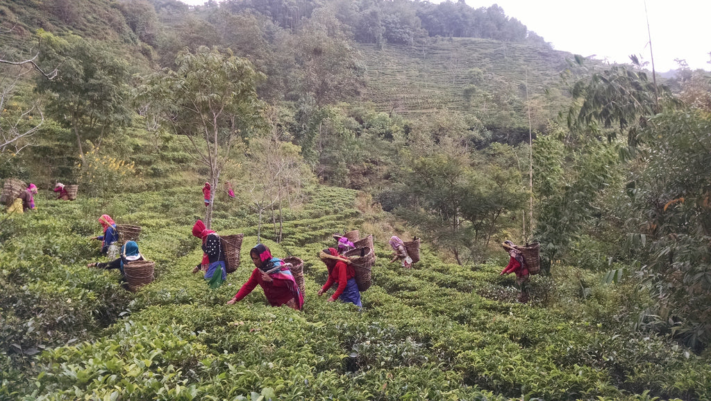 A visit to Jun Chiyabari Tea Garden