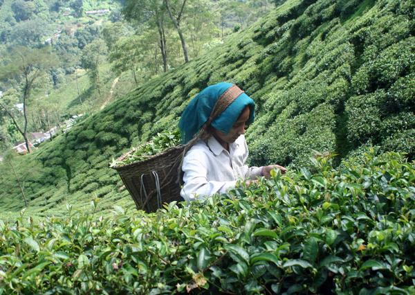 Darjeeling First Flush 2014 Report