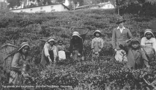 History of Darjeeling Tea ~ German Connection Part 4
