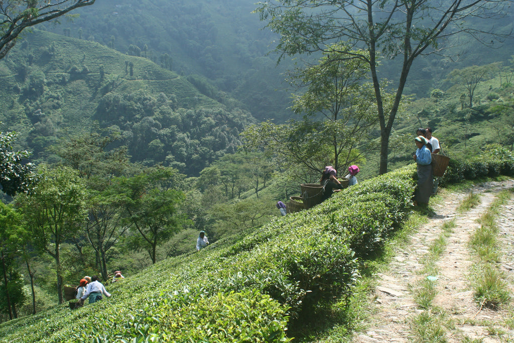 Risheehat Tea Estate Darjeeling