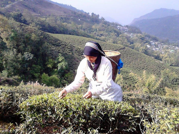 The start of Darjeeling First Flush 2015 plucking. At Maharani division of Margaret's Hope Tea Estate.