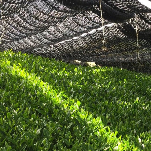 Tea growing in shade under a canopy.
