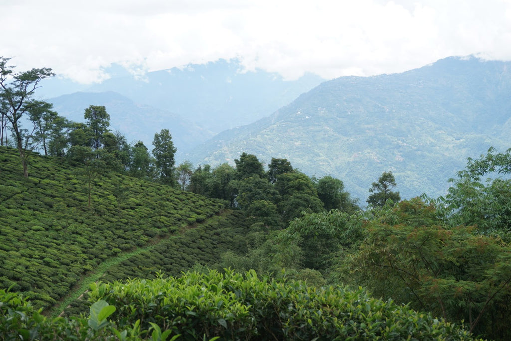 Puttabong tea estate Darjeeling