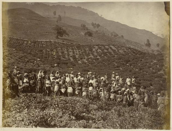 Ging Tea Estate, circa 1880s. The tea garden is located just below the Lebong spur where Louis Mandelli spent his first few years.