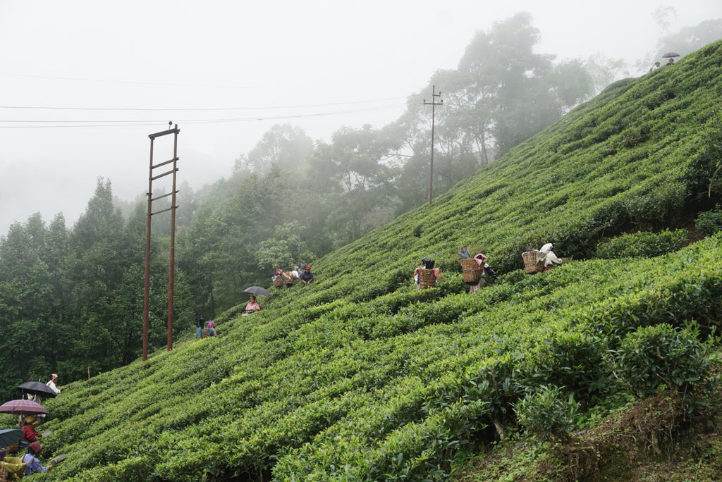 Tea pluckers at Puttabong Tea Estate, Darjeeling. Summer 2019