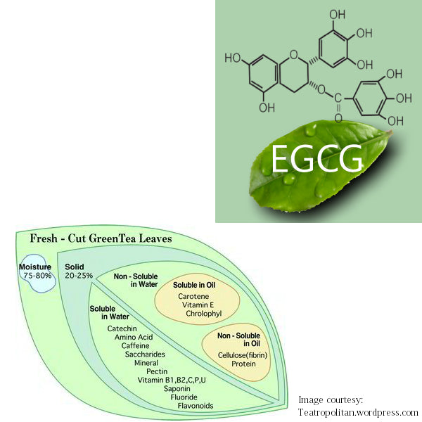 "EGCG-3 is the ""celebrity"" catechin in green tea."