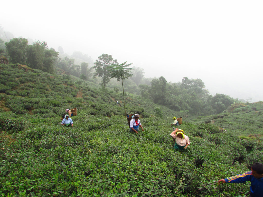 Muscatel Valley (Goomtee Tea Estate) Darjeeling