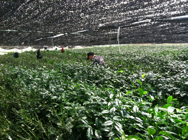 Photo of people in field growing tea for matcha
