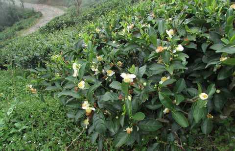 Tea bush in full bloom.