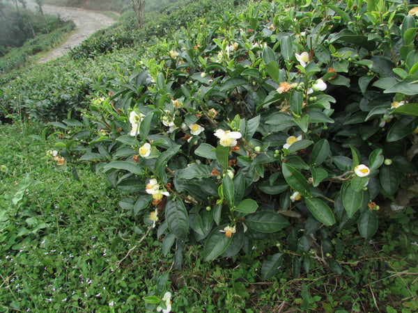 A tea bush in bloom during autumn in Darjeeling.