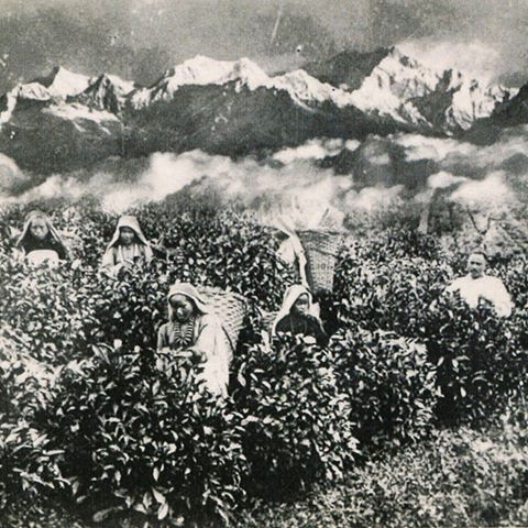 Women picking tea Darjeeling. The bushes look much taller than how they are kept these days. Source and time of this photo is unknown. If anybody can shed some more light on this image we'd be grateful if you did so in the comment section.