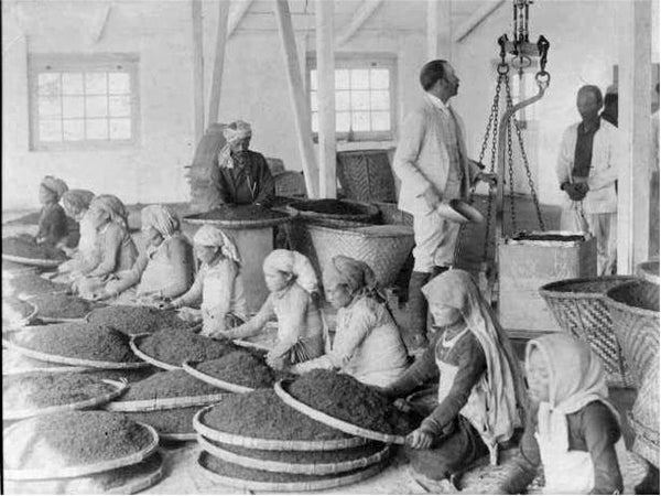 Workers cleaning tea at a Darjeeling tea factory. Circa 1865