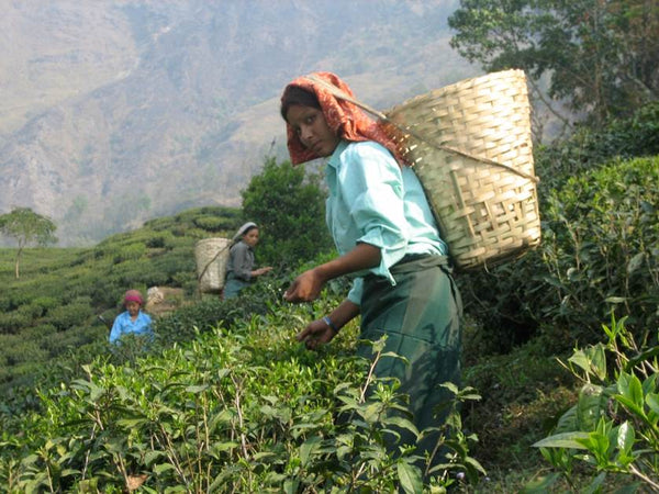 Photo of woman plucking tea leaves