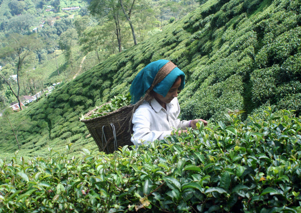 Plucking at Risheehat tea estate. Taken during my visit to the garden in 2013.