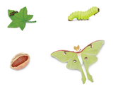 Luna Moth Life Cycle Models & 3 Part Cards
