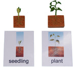 Bean Plant Life Cycle Models & 3 Part Cards