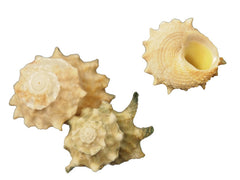 Astraea Calcar Shells (5)