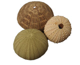 Lucky Dip Pair of Sea Urchins (2)