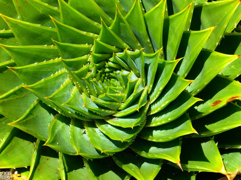 Spirale Aloes
