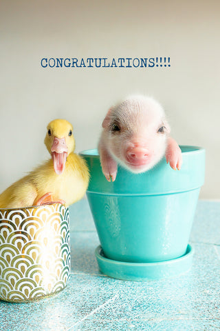 Congratulations- pig and duck