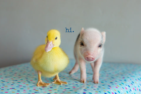 Hi! ( baby duck and big)