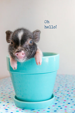 Oh Hello ( baby pig)