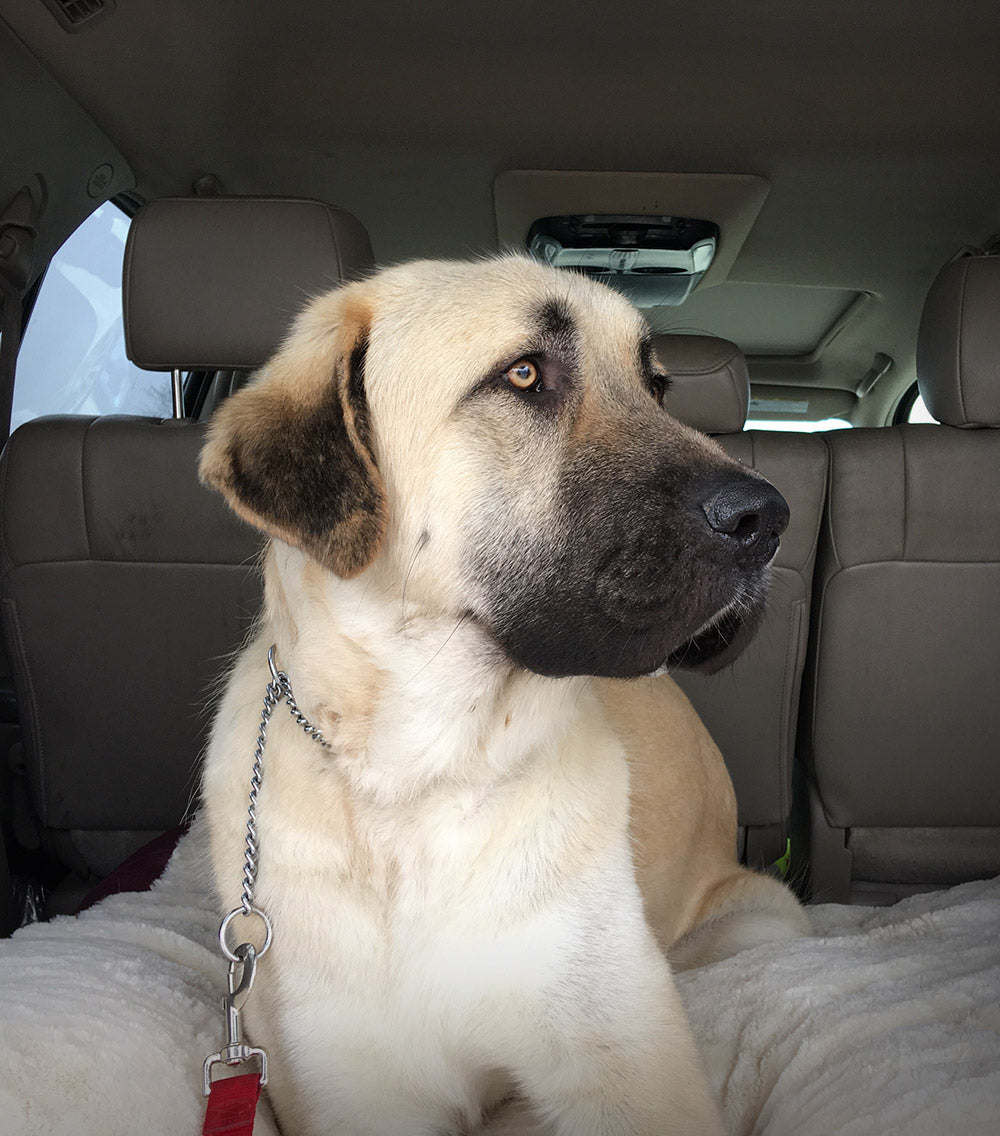 Anatolian Shepherd, Pet Adoption, Rescue Dog, Dog Photographer