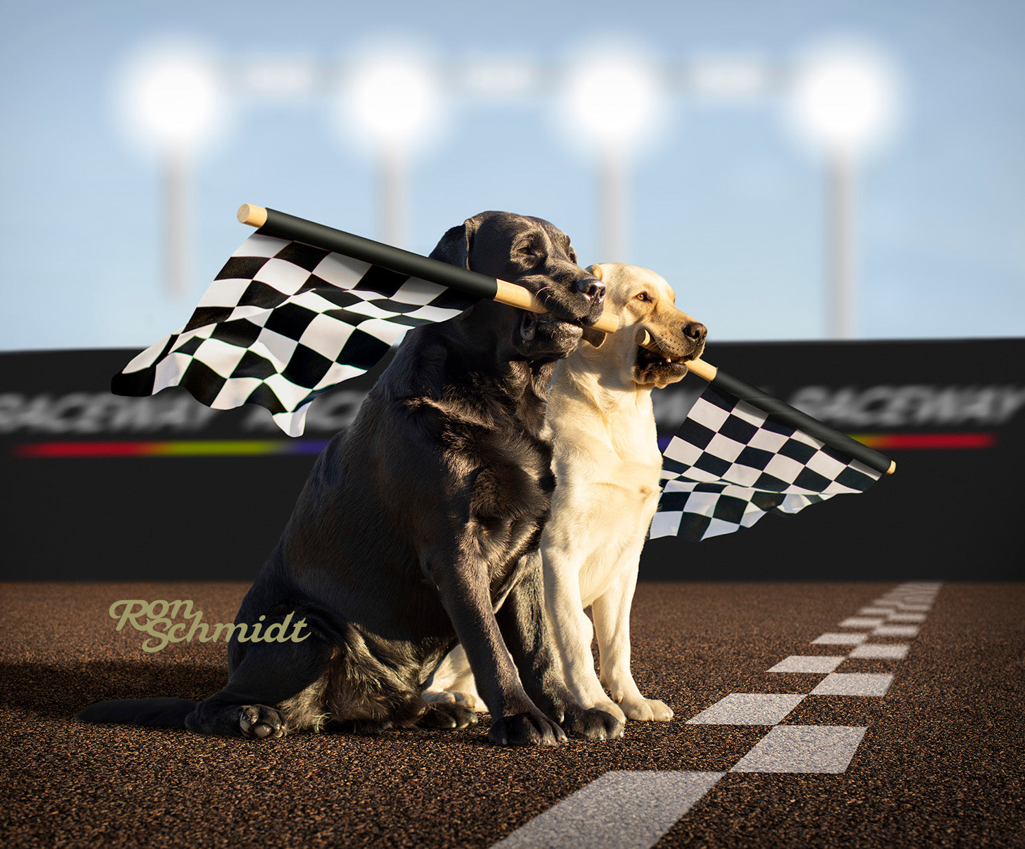 Yellow Labrador Retriever and Black Labrador Retriever holding checkered flag on race track. Art print for Dog  lovers by dog photographer Ron Schmidt